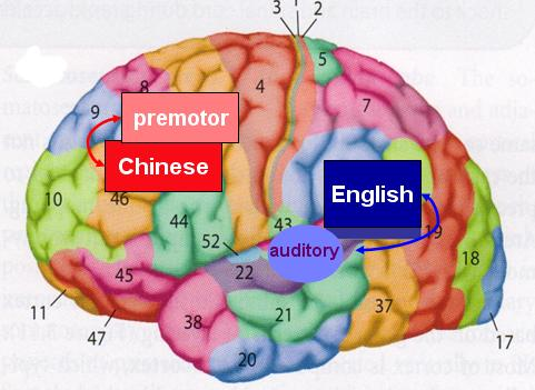 chinese_brain_areas